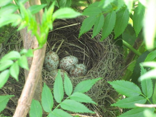 Turdus rufiventris Zorzal colorado nido huevos