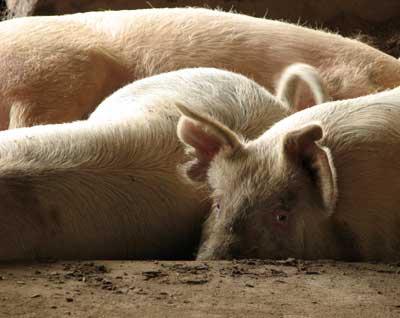 http://2.bp.blogspot.com/-1WGbvNRWsPA/TZnBN-nOAMI/AAAAAAAAAAU/6COn8W2QdNA/s1600/granja-de-cerdos.jpg