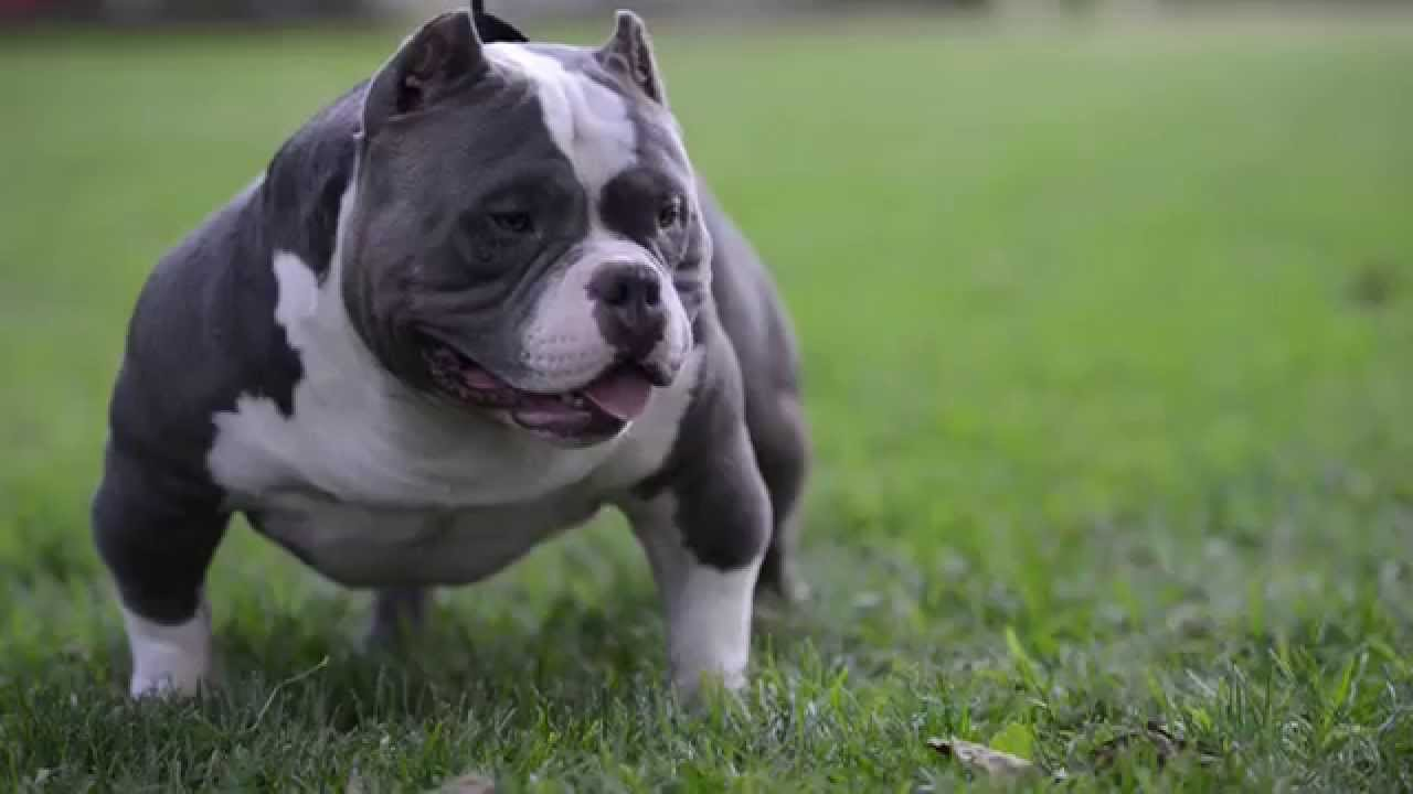 Information All Breeds of Dog : AMERICAN BULLY