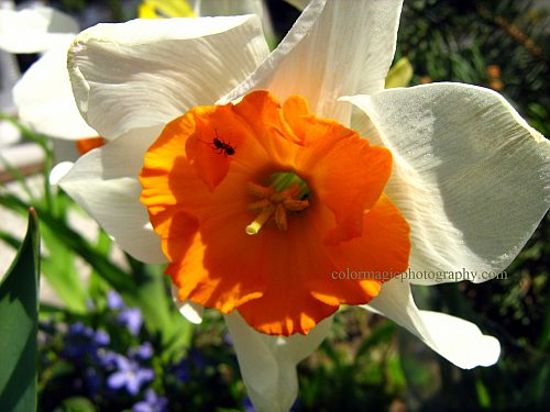 Spring daffodil-macro