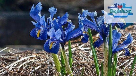 Macam macam bunga iris