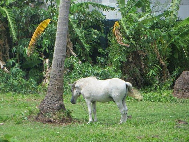 Белая лошадь под пальмой