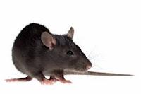 REPELS RATS