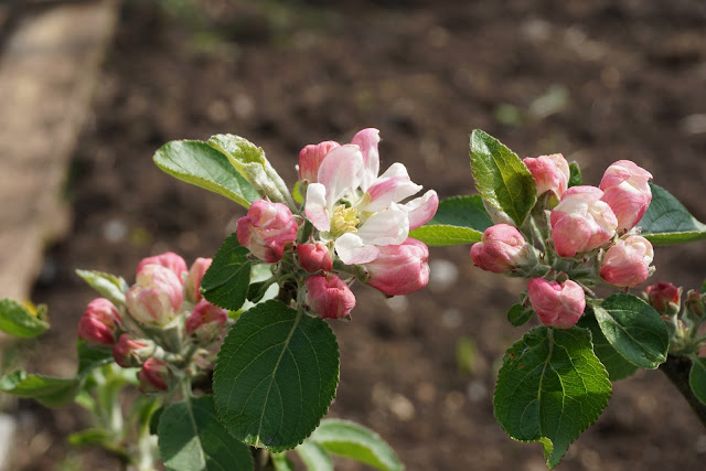 apple blossom at the plot - A Stubborn Optimist Blog - C. Gault 2019