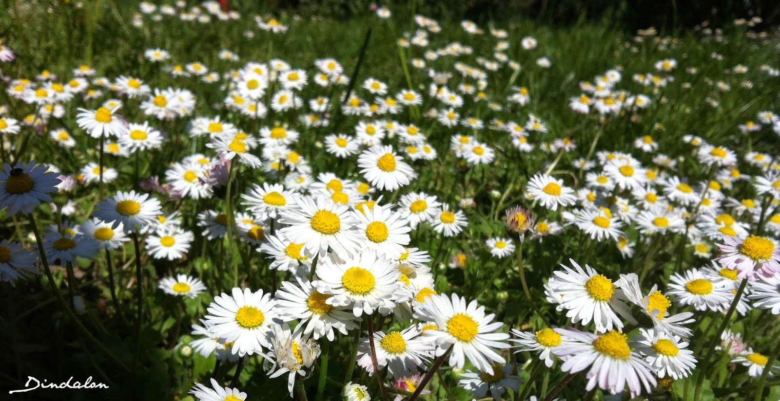 margherite fiorite