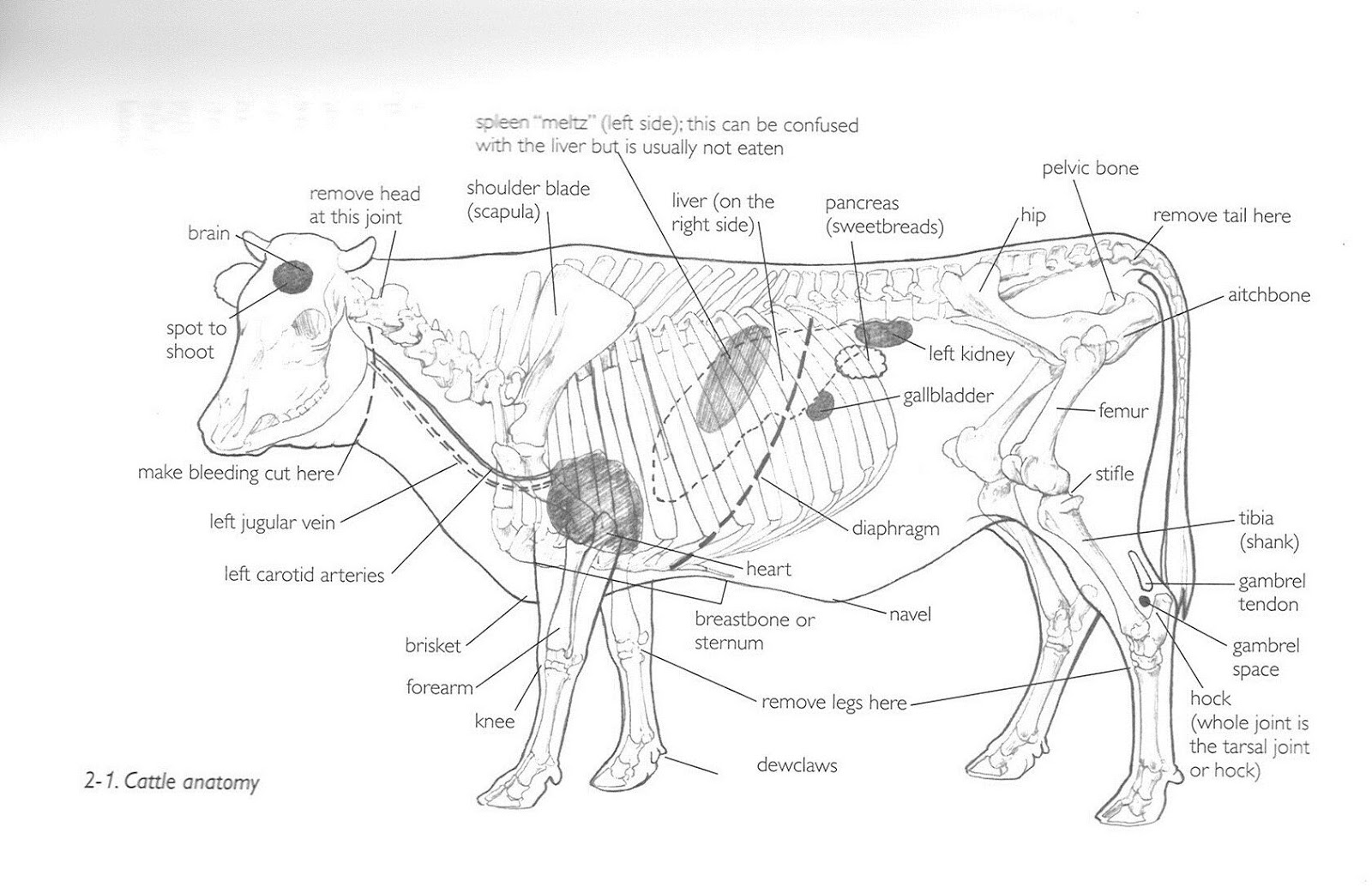 Pin Cow Anatomy Diagrams