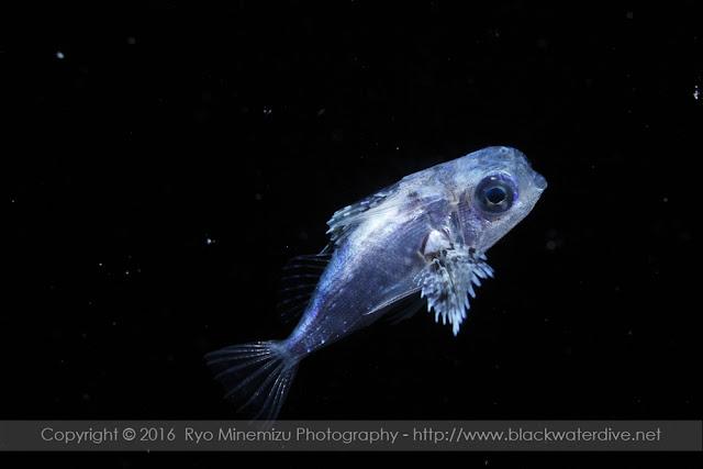 セミホウボウのケファラカンサス期稚魚