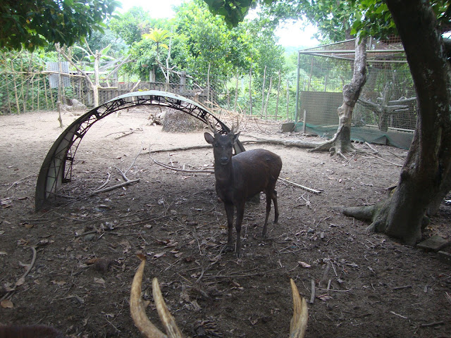 Deer in Casiguran, Aurora