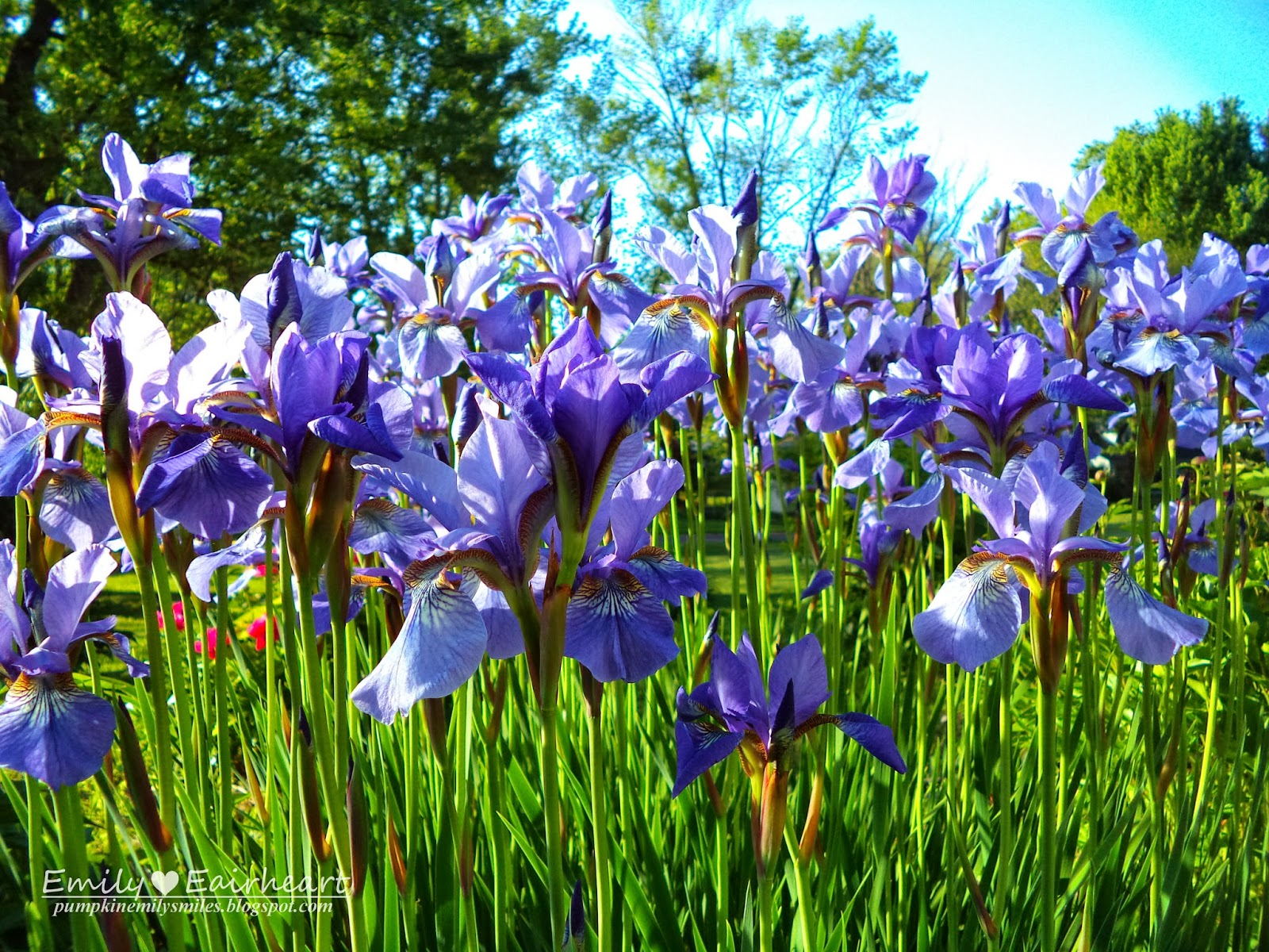 Multiple purple Irises