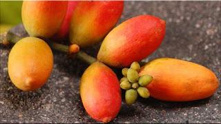 gambar buah melinjo,ninjo