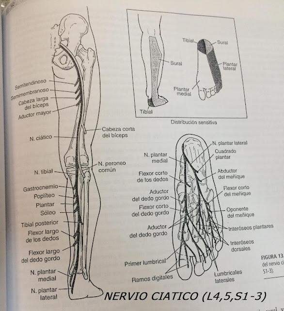 Nervio Ciático: L4,5, S1-3
