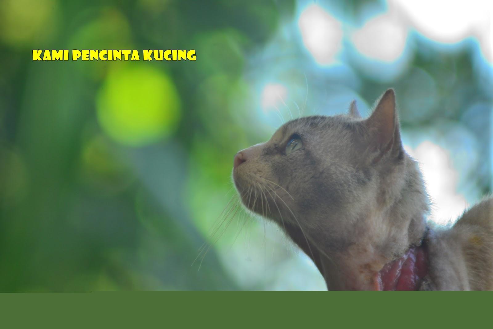 Kami Pencinta Kucing Abun Kucing Yang Bersemangat Kental