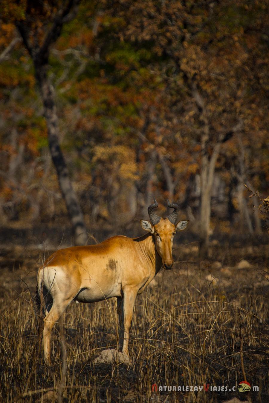 Alcéfalo en Kafue, Zambia