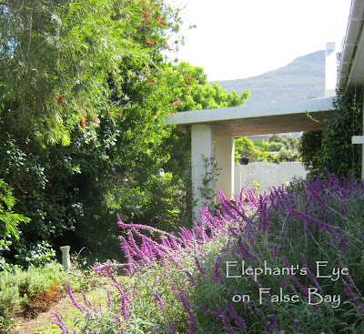 Lush cottage garden waiting for us on False Bay Taken when we visited for a photo op in March