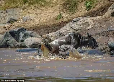 Lucky escape! Stubborn wildebeest breaks free from hungry crocodile after being dragged under water