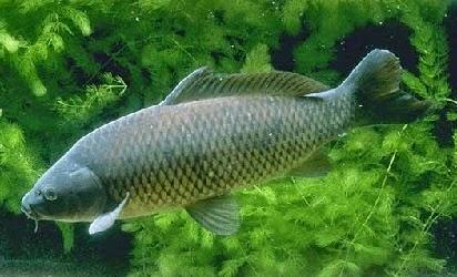 umpan ikan mas air hijau,tanpa sirkulasi,umpan ikan air hijau bening,umpan ikan air hijau pekat,umpan ikan air hijau berlumut,air hijau keruh,di air hijau,kolam air hijau,umpan ikan mas galatama,