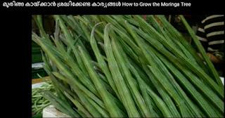 how to grow moringa tree