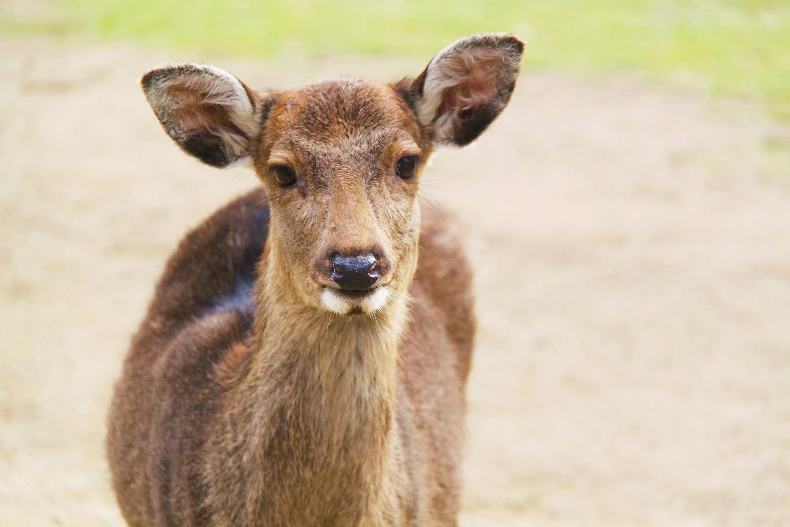 奈良-景點-推薦-鹿-奈良鹿-市區-自由行-必玩-必遊-旅遊-觀光-日本-Nara-Tourist-Attraction