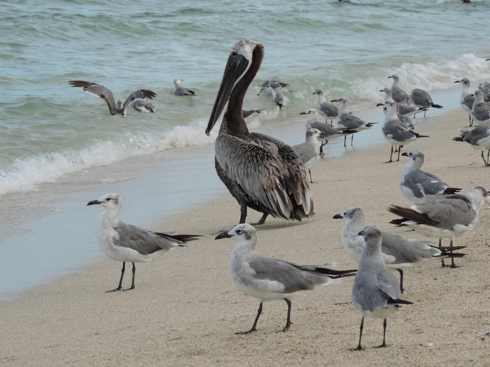 Bonao internacional galeria gaviotas y pelicanos - Fotos de pelicanos ...