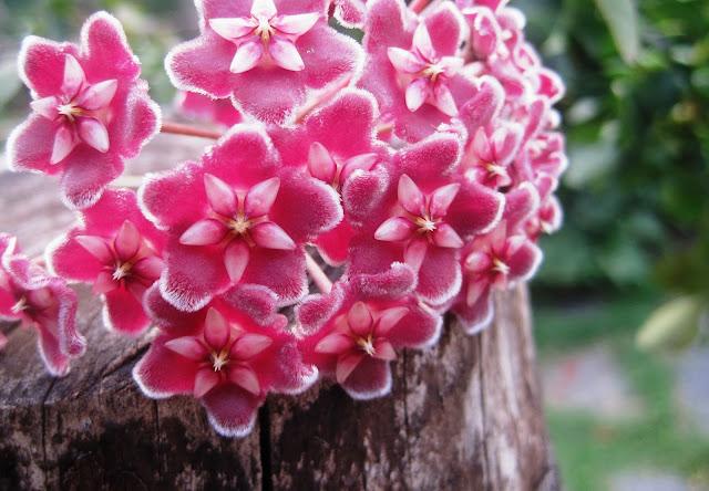 Восъчно цвете или хоя
