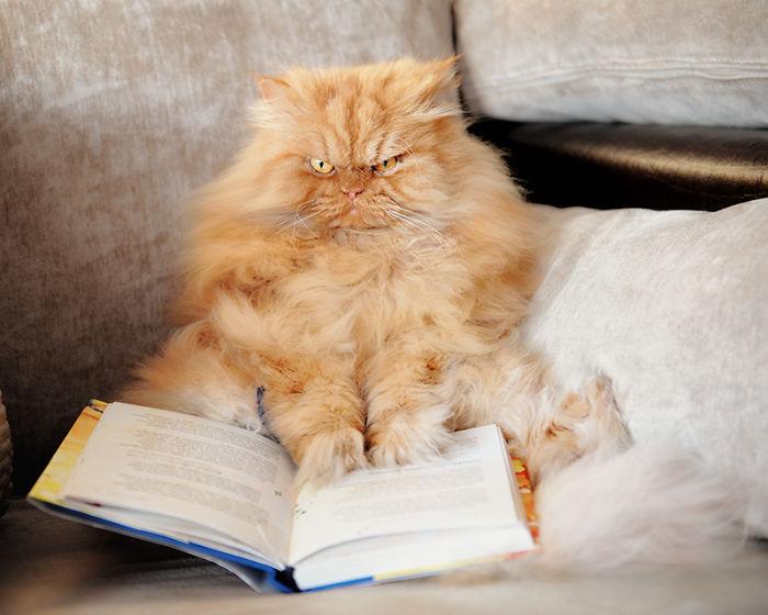 garfi-evil-grumpy-persian-cat-17