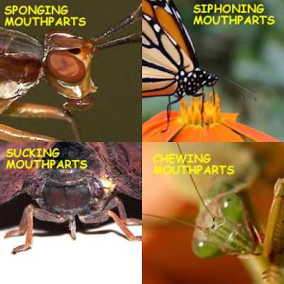Mouth parts of insects