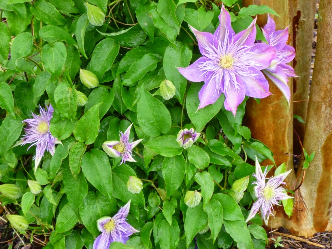 "Clematis ""Crystal Fountain"", purchased from Brushwood Nursery in 2012, growing very happily at the base of a Natchez Crape Myrtle"