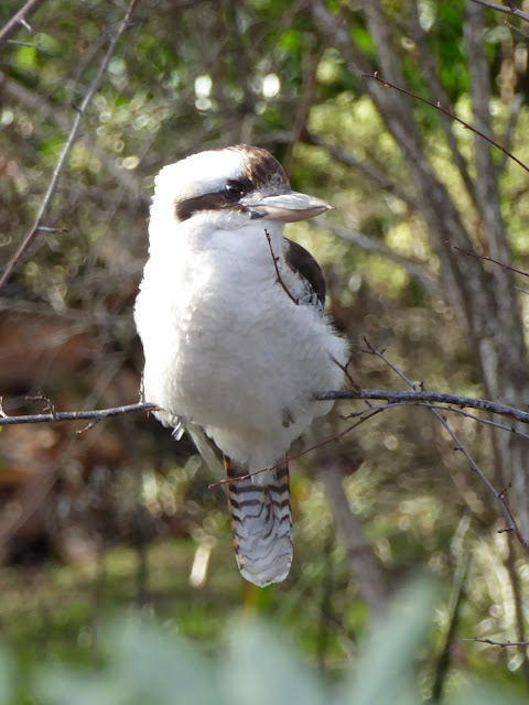 On a Winter's Afternoon Came Kookaburra