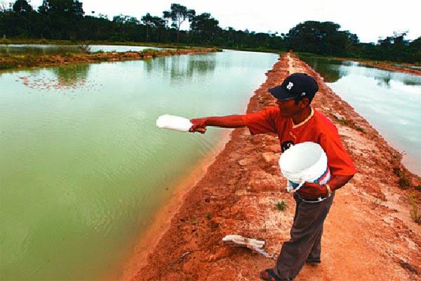 Peces en estanques artificiales tambaqui para consumo for Como hacer una laguna artificial para peces
