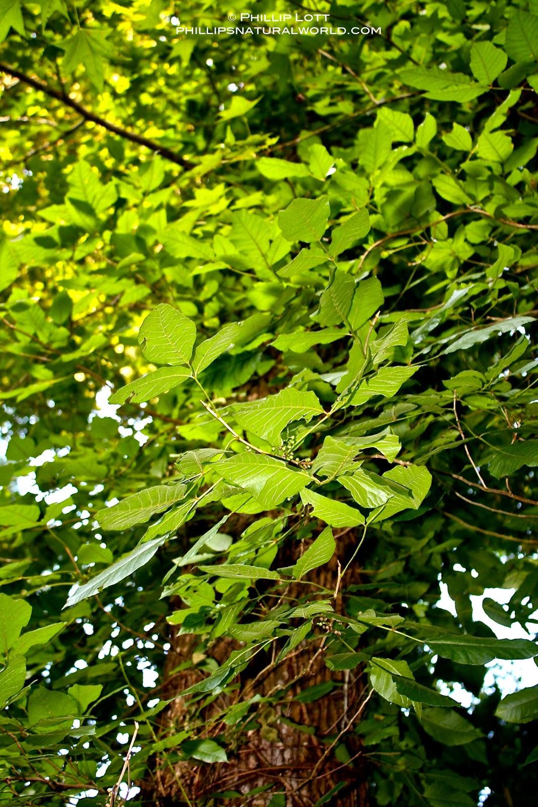 Floridas 4 Common Poisonous Plants Phillips Natural World