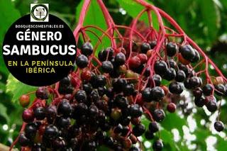 El género Sambucus Arboles pequeños en su mayoría arbustos muy ramosos, con copas redondeadas.
