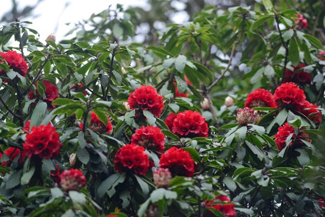 Beautiful blooming rhododendron in Fansipan mountain