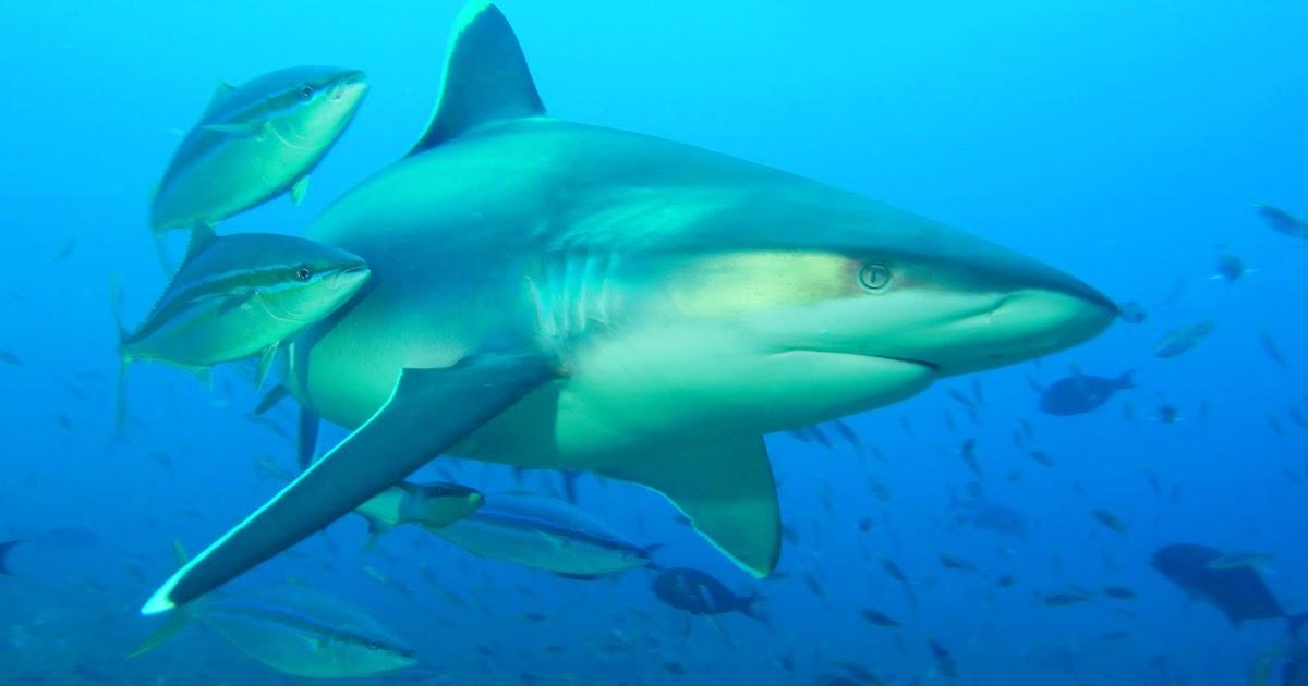 Silvertip Sharks | Life of Sea