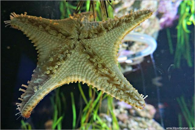 Estrellas de Mar en la Galería Tropical