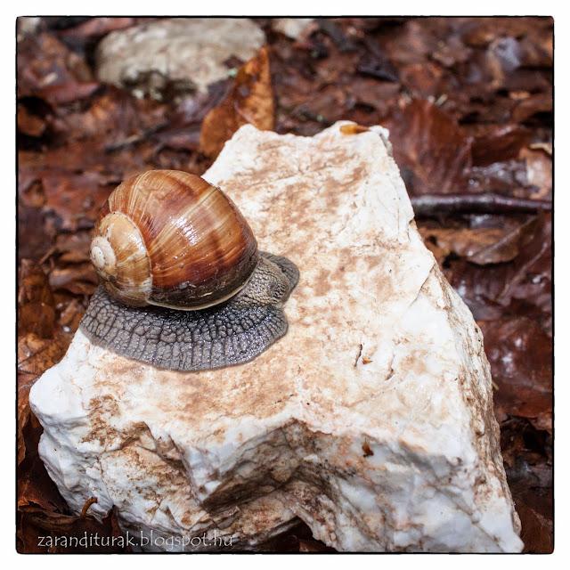 Házi csiga mészkő sziklára felmászva esőben Pádison