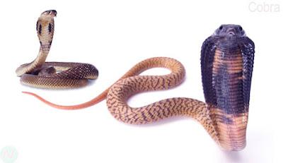 Cobra snake,কেউটে বা গোখুরা সাপ