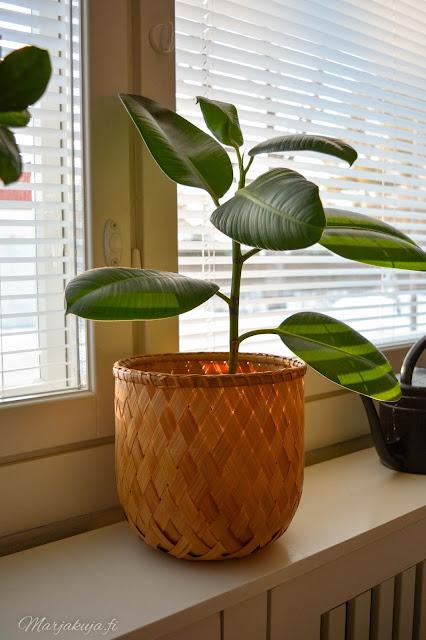 viherkasvi kasvi kukka koti kumiviikuna fiikus trendikäs sisustaminen