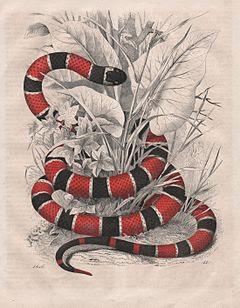 Cobra-Coral é uma denominação comum a várias serpentes