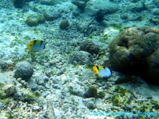 pez mariposa dos puntos negros