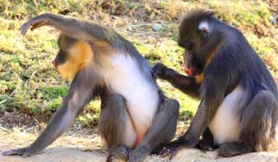 Mandrilli isolano dal branco compagni malati odorando loro feci