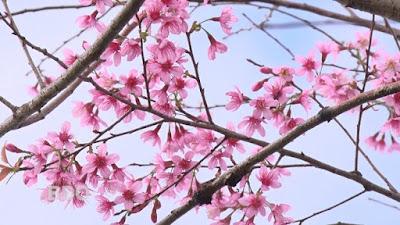 """Lên Vĩnh Sơn – Ðà Lạt thu nhỏ"""" của Bình Ðịnh ngắm hoa đào"""