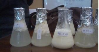 Laporan Praktikum Pembuatan Yoghurt