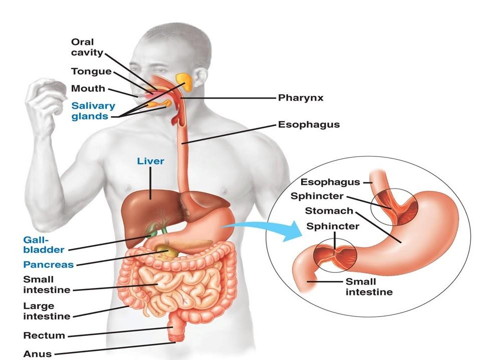 Sonu Academy  Human Digestive System
