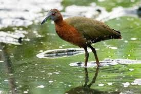 Grey throated Rail