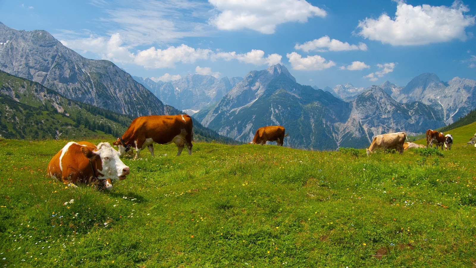 Cow HD Wallpapers