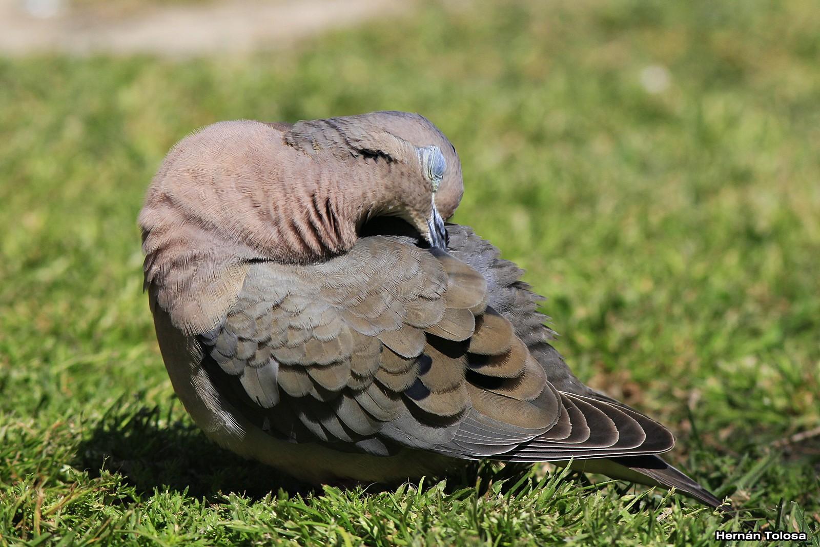 Aves Bonaerenses: Torcazas de la plaza