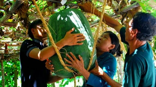 Quả bí đao khổng lồ ở Việt Nam