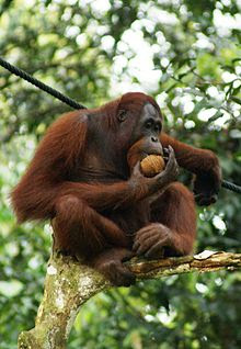 Orangutan threatened with extinction due to palm oil industry