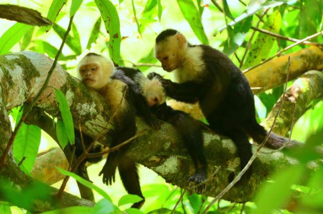 Ketika Ilmuwan Mengajari Monyet Menggunakan Uang Untuk Membeli Makanan, Membuktikan Faham Ekonomi Yang Sama Dengan Manusia
