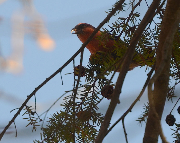 A White-winged Crossbill perches high in the branches of an Eastern Hemlock tree. You can just make out the crossed bill in this photo.